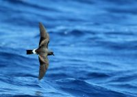 4 - 11 september 2021 Azorerna havsfåglar